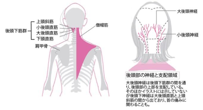 後頭部の神経と支配領域